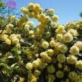 """ვარდი  """"CASINO ®"""" (CLIMBING ROSE FCASINO ®) ზრდასრული მცენარე კონტეინერით"""