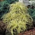 ისლი  'Evergold'   (Carex oshimensis 'Evergold' ) კონტეინერით
