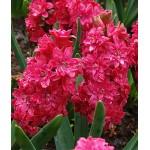 """სუმბული """"Hollyhock"""" (Hyacinthus orientalis """"Hollyhock"""") ბოლქვი 2 ცალი"""