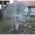 """პალმა """"ბისმარკია"""" (Bismarckia nobilis) თესლი 3 ცალი."""