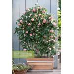 """ვარდი """"CHIPPENDALE ®"""" (SHRUB  Hybrid Tea ROSE CHIPPENDALE ®) ზრდასრული მცენარე"""