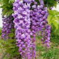 """გლიცინია """" 'Violacea Plena' """" (Wisteria floribunda 'Violacea Plena') ნერგი 2 ლტ. კონტეინერით"""