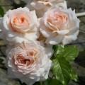 """ვარდი """" Chandos Beauty ® """" ( ROSE """" Chandos Beauty ® """") ნამყენი ნერგი"""