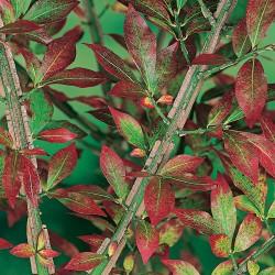 ეონიმუსი  (euonymus alatus) ნერგი კონტეინერით
