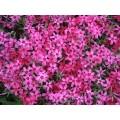 """ფლოქსი """"Temiskaming"""" (PHLOX SUBULATA Temiskaming) ზრდასრული მცენარე კონტეინერით"""