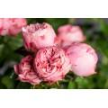 """ვარდი """"PLAYFULL ROKOKO"""" ( Hybrid Tea ROSE PLAYFULL ROKOKO) ზრდასრული მცენარე კონტეინერით"""