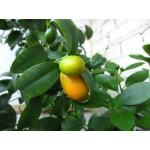 კინკანი ანუ კუმკვატი (Fortunella) ზრდასრული მცენარე კონტეინერით.