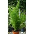"""ასპარაგუსი (Asparagus densiflorus """"Myersii """") ზრდასრული მცენარე."""