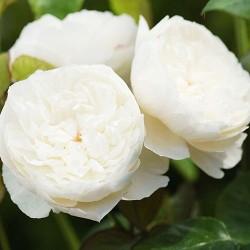 """ვარდი """" William and Catherine """" ( ENGLISH ROSE William and Catherine ) ზრდასრული მცენარე კონტეინერით"""