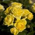 """ვარდი """" Anny Duperey"""" ( FLORIBUNDA ROSEAnny Duperey ) ზრდასრული მცენარე კონტეინერით"""