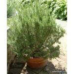 როზმარინი (Rosmarinus) ზრდასრული მცენარე კონტეინერით