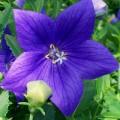"""პლატიკოდონი """"Mariesii blue"""" (Platycodon grandiflorus Mariesii blue) ნერგი"""