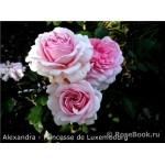 """ვარდი """" Alexandra- Princesse de Luxembourg """" ( MODERN SHRUB ROSE Alexandra- Princesse de Luxembourg) ნამყენი ნერგი"""