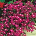 """ლობელია  """"Rosamond"""" (Lobelia Erinus Rosamond) თესლი"""