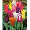 """ტიტა  """"Lilyflowering Mixed"""" (Tulips Lilyflowering Mixed) ბოლქვი 5 ცალი"""