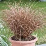 """ისლი """"Milk chocolate""""(Carex petriei Milk chocolate) ზრდასრული მცენარე კონტეინერით."""