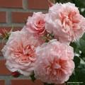 """ვარდი """"Rose de Tolbiac"""" (CLIMBING ROSE """"Rose de Tolbiac"""" ) 2 წლის ნამყენი ნერგი შეფუთული ფესვით"""