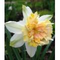 """ნარცისი """"Petit Four """" (Narcissus Petit Four) ბოლქვი 5 ცალი"""