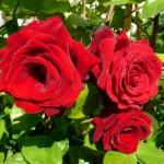 """ვარდი """" Grandessa ® """" ( CLIMBING ROSE Grandessa ® ) ნამყენი ნერგი"""