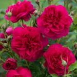 """ვარდი """"Thomas à Becket"""" (SHRUB ROSE Thomas à Becket) ზრდასრული მცენარე კონტეინერით"""