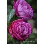 """ვარდი """" Senteur Royale® """" ( HYBRID TEA  ROSE Senteur Royale® ) ზრდასრული მცენარე კონტეინერით"""