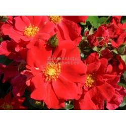 """ვარდი """"RED HAZE ® """" (floribunda ROSE RED HAZE ® ) ზრდასრული მცენარე კონტეინერით"""