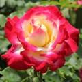 """ვარდი """"DOUBLE DELIGHT"""" ( ROSE DOUBLE DELIGHT ) ზრდასრული მცენარე კონტეინერით"""