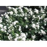 """ვარდი """"Swany"""" ( Ground Cover ROSE Swany ) ზრდასრული მცენარე კონტეინერით"""