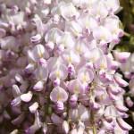 """გლიცინია """"Kuchi-beni """" (Wisteria floribunda Kuchi-beni ) ნერგი 8 ლტ. კონტეინერით"""