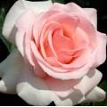 """ვარდი """" Prince Jardinier® """" ( HYBRID TEA ROSE Prince Jardinier® ) ნამყენი ნერგი"""