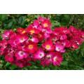 """ვარდი """" Red Yesterday """" ( ROSE """" Red Yesterday """")  ზრდასრული მცენარე კონტეინერით"""