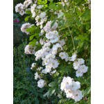 """ვარდი """"PERENNIAL BLUSH ®"""" (CLIMBING ROSE ROSEPERENNIAL BLUSH ®) ზრდასრული მცენარე კონტეინერით"""