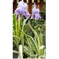 ზამბახი ჭრელფოთლიანი (Iris pallida Variegata) კონტეინერით