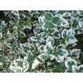 ჭანჭყატი 'Emerald Gaiety' (Euonymus fortunei 'Emerald Gaiety') ნერგი კონტეინერით.