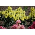 """ლომისპირა """"Twinny Yellow shades"""" (Antirrhinum Majus Twinny Yellow shades)  თესლი 10 ცალი"""
