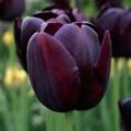 """ტიტა  """"Blackjack"""" (Tulipa Blackjack) ბოლქვი 5 ცალი"""