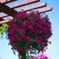 პეტუნია დასაკიდი ქოთნით (Wave® Purple Classic Spreading Petunia) ზრდასრული მცენარე კონტეინერით