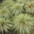 """ისლი """"Frosted Curls"""" (Carex comans """"Frosted Curls"""" ) ნერგი 2ლტ კონტეინერით"""