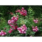 """ვარდი """" Pomponella """" ( FLORIBUNDA ROSE Pomponella ) ზრდასრული მცენარე კონტეინერით"""