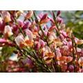 """ციტისუსი (ტყის ცოცხი) """"Zeelandia"""" (Cytisus scoparius 'Zeelandia') ზრდასრული მცენარე კონტეინერით"""