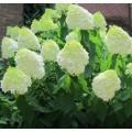 ჰორტენზია (Hydrangea paniculata Limelight) კონტეინერით.
