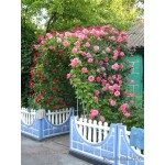 """ვარდი """"LAWINIA ®"""" (CLIMBING ROSE LAWINIA ®) ზრდასრული მცენარე კონტეინერით"""