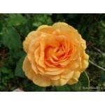 """ვარდი """"Gaby Marley"""" (HYBRID TEA ROSE Gaby Marley ) ზრდასრული მცენარე კონტეინერით"""
