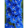 """დელფინიუმი  """"Blue bird"""" (Delphinium cultorum Blue bird) თესლი"""