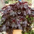 """გეიჰერა """"Heuchera Micrantha Palace Purple"""" ზრდასრული მცენარე."""