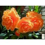 """ბეგონია """"'Picotee Lace Apricot"""" (Begonia 'Picotee Lace Apricot) ბოლქვი 3 ცალი"""