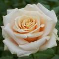 """ვარდი """"Paul Richard ®"""" ( HYBRID TEA ROSE Paul Richard ®) ნამყენი ნერგი"""