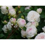 """ვარდი """"STEPHANIE BARONIN ZU GUTTENBERG ROSE """" ( ROSE STEPHANIE BARONIN ZU GUTTENBERG ROSE ) ზრდასრული მცენარე კონტეინერით"""