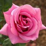 """ვარდი """" Eminence """" ( HYBRID TEA ROSE Eminence ) ზრდასრული მცენარე კონტეინერით"""