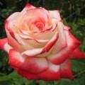 """ვარდი """"Kaiserin Farah"""" ( HYBRID TEA ROSE Kaiserin Farah ) ზრდასრული მცენარე კონტეინერით"""